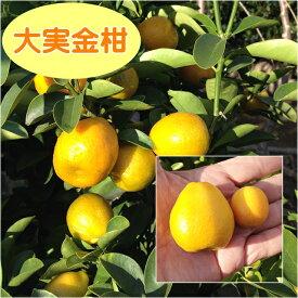 【その他柑橘系ミカン属】大実金柑(接木苗)4号LLポット