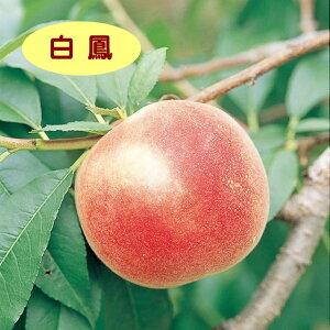 【モモ属】桃 白鳳(接木苗)4号LLポット