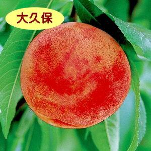 【モモ属】桃 大久保(接木苗)4号LLポット