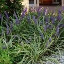 斑入り葉とブルーの花のコントラストが鮮やかな斑入りヤブラン