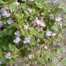 下垂する枝に可愛らしい小花を無数に咲かせるリナリア