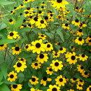 可愛らしい小輪の花を真夏に元気よく咲かせるルトベキアタカオ
