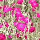 可愛らしい花を沢山咲かせるリクニスコロナリア