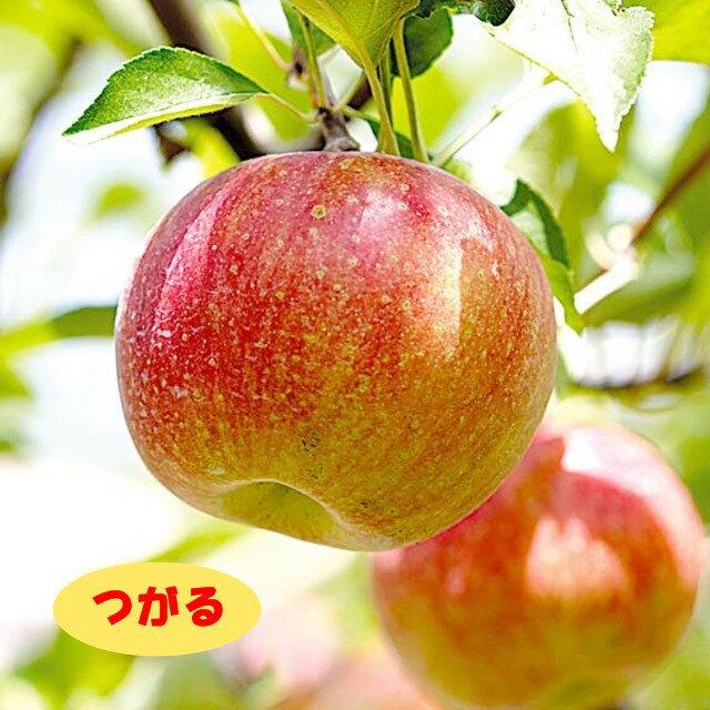 【リンゴ属】津軽(つがる)(二年生接木苗)4号LLポット