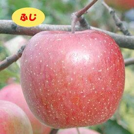 【リンゴ属】ふじ(二年生接木苗)4号LLポット