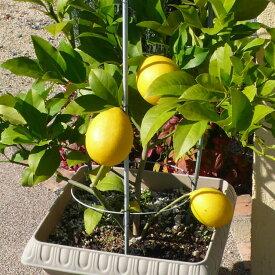 【香酸柑橘系ミカン属】レモン(接木苗)4号LLポット