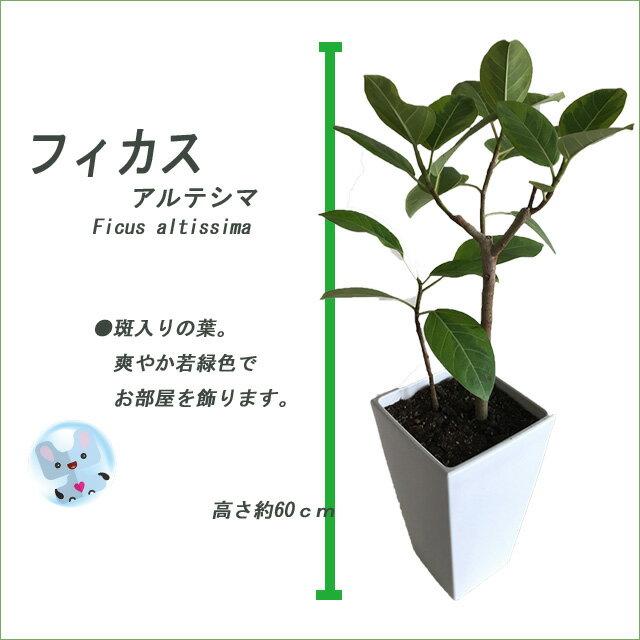 【鉢物】【フィカス属】希少品種 フィカス アルテシマ