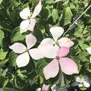 ピンクの花色が鮮やかなヤマボウシ