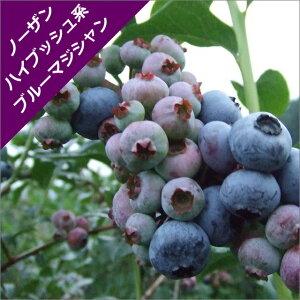 【スノキ属】ブルーベリーノーザンハイブッシュ系ブルーマジシャン(挿木苗)4.5号ポット