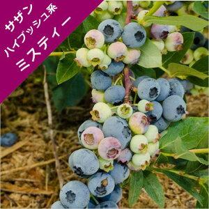 【スノキ属】ブルーベリーサザンハイブッシュ系ミスティー(挿木苗)4号ポット