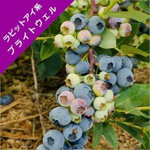 【スノキ属】ブルーベリーラビットアイ系ブライトウェル(挿木苗)4.5号ポット