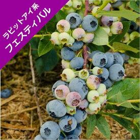 【スノキ属】ブルーベリーラビットアイ系フェスティバル(挿木苗)4.5号ポット