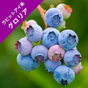 【スノキ属】ブルーベリーラビットアイ系グロリア(挿木苗)4.5号ポット