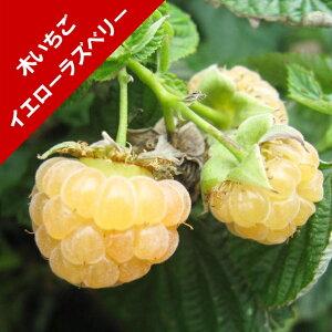 【キイチゴ属】ラズベリーイエローラズベリー 3.5号ポット