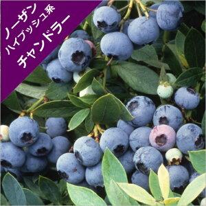 【スノキ属】ブルーベリーノーザンハイブッシュ系チャンドラー(接ぎ木苗)5号ポット