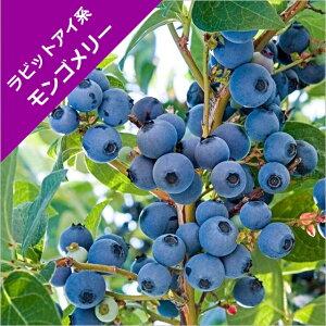 【スノキ属】ブルーベリーラビットアイ系モンゴメリー(挿木苗)4.5号ポット