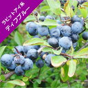 【スノキ属】ブルーベリーラビットアイ系ティフブルー(挿木苗)4.5号ポット