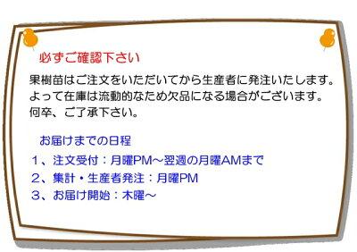 【ミカン属】デコポン(一年生接木苗)4号LLポット