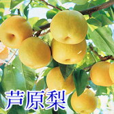 芦原梨幸水5kg
