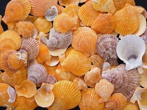 ヒオウギガイ片面-小-【約2〜5cm/500g】貝 貝殻 シェル 二枚貝 ブライダル ウェルカムボード ハンドメイド フレーム 海 ストラップ