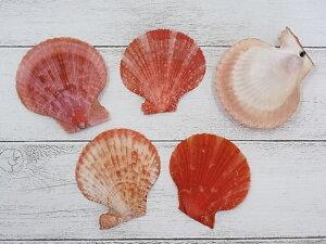 ■メール便可(6袋まで)■ヒオウギガイ片面-赤系-【約6〜8cm/5枚入】貝 貝殻 シェル 二枚貝 ブライダル ウェルカムボード アクセサリー ハンドメイド