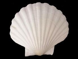 イタヤガイ【約10cm±0.5cm/5枚入】貝 貝殻 シェル 二枚貝 ブライダル ウェルカムボード アクセサリー ハンドメイド