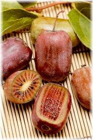 ミニキウイフルーツ 紫香 接木苗 1本