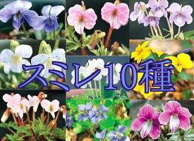野すみれ 見計らい 10種セット(入荷予定:2019年9月下旬頃より)