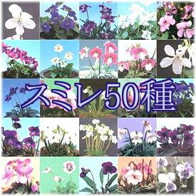野すみれ 見計らい 50種セット(入荷予定:2019年9月下旬頃より)