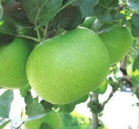リンゴ ブラムリー 接木苗 1本(入荷予定:2019年11月頃)