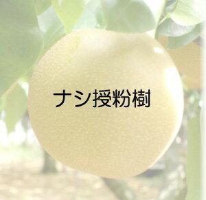 ナシ 幸水 接木苗 1本(入荷予定:2019年11月頃)