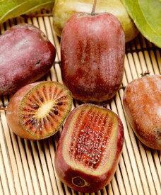 ミニキウイフルーツ 紫香 接木苗 1本(入荷予定:2020年11月頃)