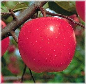 リンゴ 秋茜 接木矮性台苗 1本(通常販売価格3800円のところ、2660円にて。)