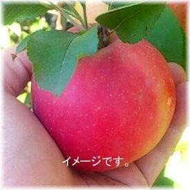 わらびりんご 接木2年生 5号高さ70cm内外 1本
