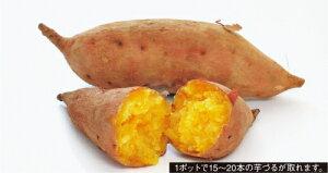 サツマイモ 安納芋 つるとり親苗 3.5号 1ポット