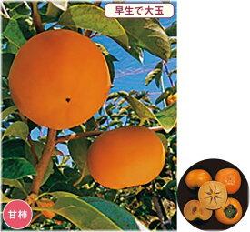 柿 太雅(PVP) 接木苗 1本(通常販売価格5500円のところ、3850円にて。)