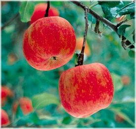 リンゴ こうとく 矮性台接木苗 1本(通常販売価格3300円のところ、2310円にて。)