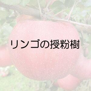 リンゴ 王林スパー 接木苗 1本(入荷予定:2021年11月頃)
