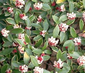 ジンチョウゲ 覆輪赤花 5号ポット苗 1本(2021年3月18現在。花が咲き終わりとなります。)