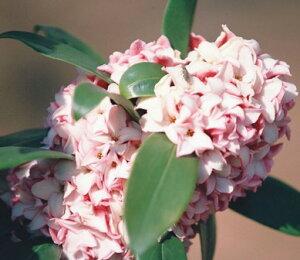 ジンチョウゲ 赤花 5号ポット苗 1本(2021年3月18現在。花が咲き終わりとなります。)