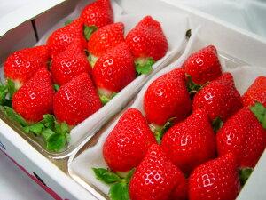 「とよのか」に次ぐ期待の後継品種【送料無料】福岡県産イチゴ『あまおう』