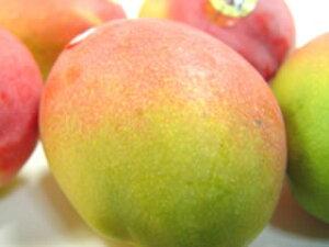 【送料無料】メキシコ産アップルマンゴー・2個入り 甘くて濃厚な味わいは絶品!国産マンゴーに匹敵する輸入最高峰マンゴー! 母の日ギフト・カーネーション1本サービス 出荷予定:4