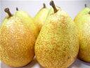送料無料 青森県産 西洋梨 ゼネラルレクラーク 8個 黄金色に輝くゼネラルレクラーク!デュ・コミスの自然交雑実生と…