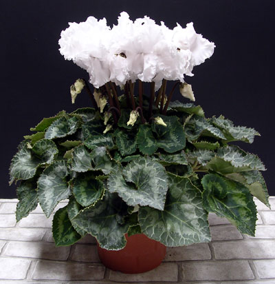 12月上旬からお届け 珍しい白系フリンジ咲きシクラメン ホワイトエンジェル 鉢植え