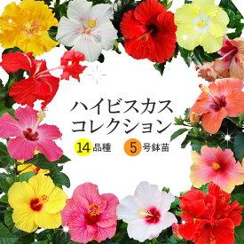 ハイビスカス コレクション 5号鉢植え