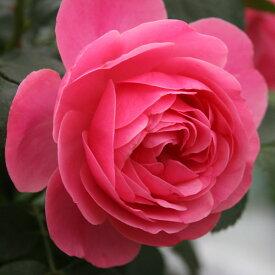 ご予約品 10月末から順次発送 バラ苗 レオナルド・ダ・ヴィンチ (赤) レオナルドダヴィンチ クライミング ローズ 2年生大苗 つる バラ ばら