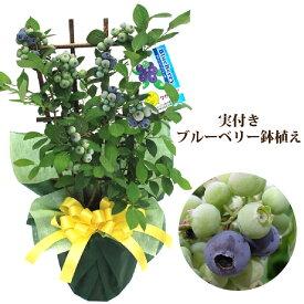 実付きブルーベリー鉢植えギフト 果樹苗 果物 家庭菜園