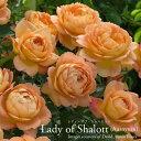 Shalott