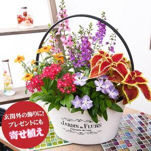 寄せ植え バスケット 日々草「爽夏さわやか」 玄関 店舗前の花飾りに プレゼントやギフトにもおすすめ 鉢花 花苗 夏の花