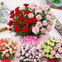 母の日 プレゼント カーネーション 花 ギフト 鉢植え 大きなカーネーション鉢植えギフト 2色咲き6号鉢サイズ